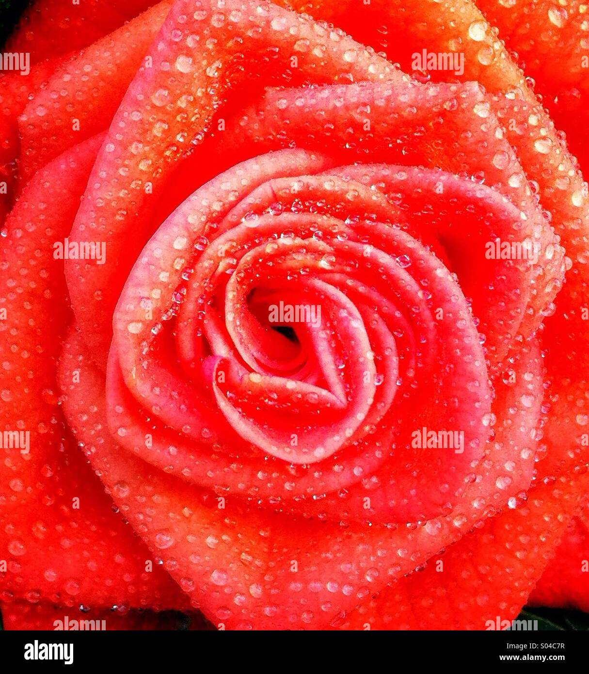 Rose - Stock Image
