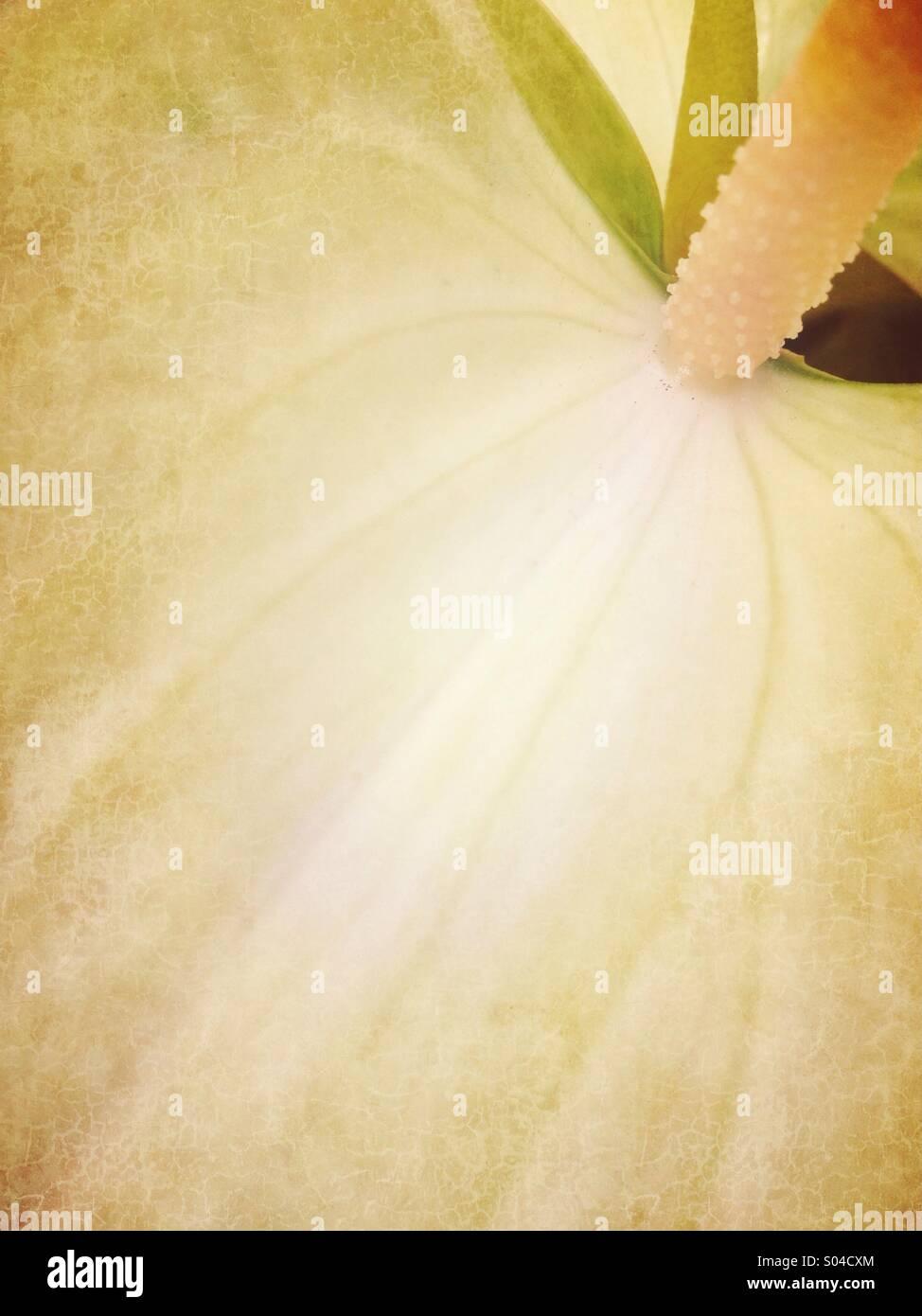 Detail of anthurium petal - Stock Image