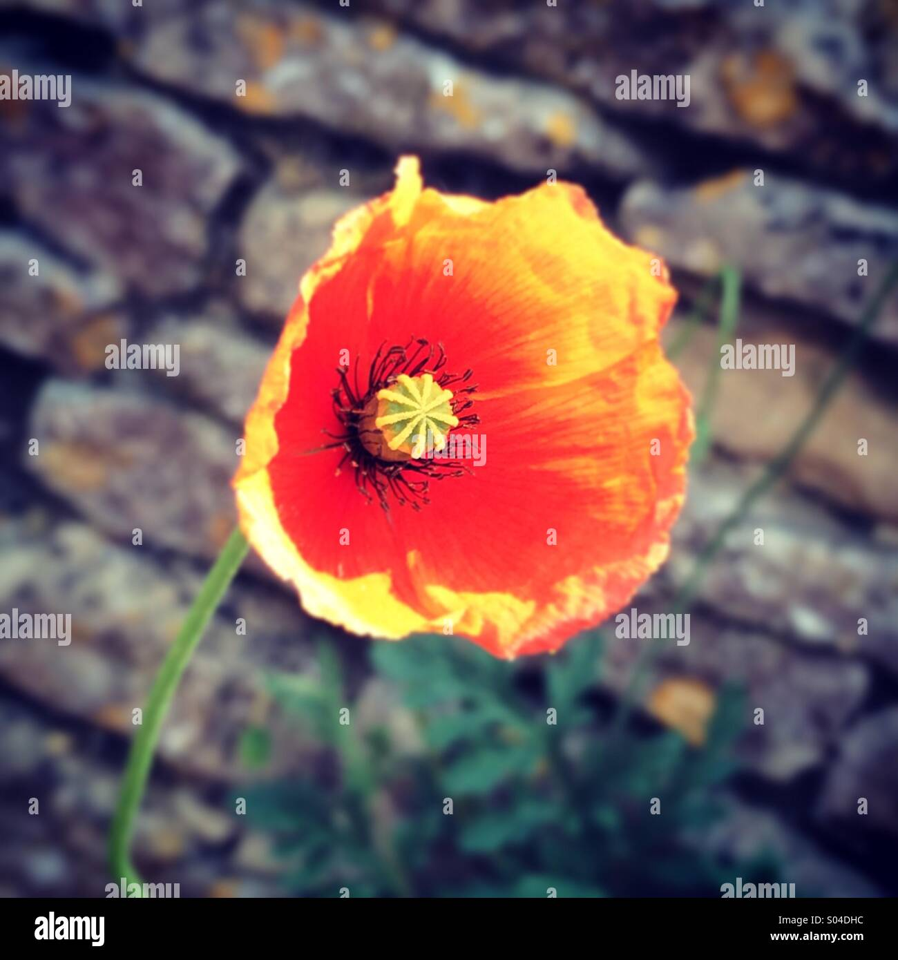 Red poppy against brick wall - Stock Image