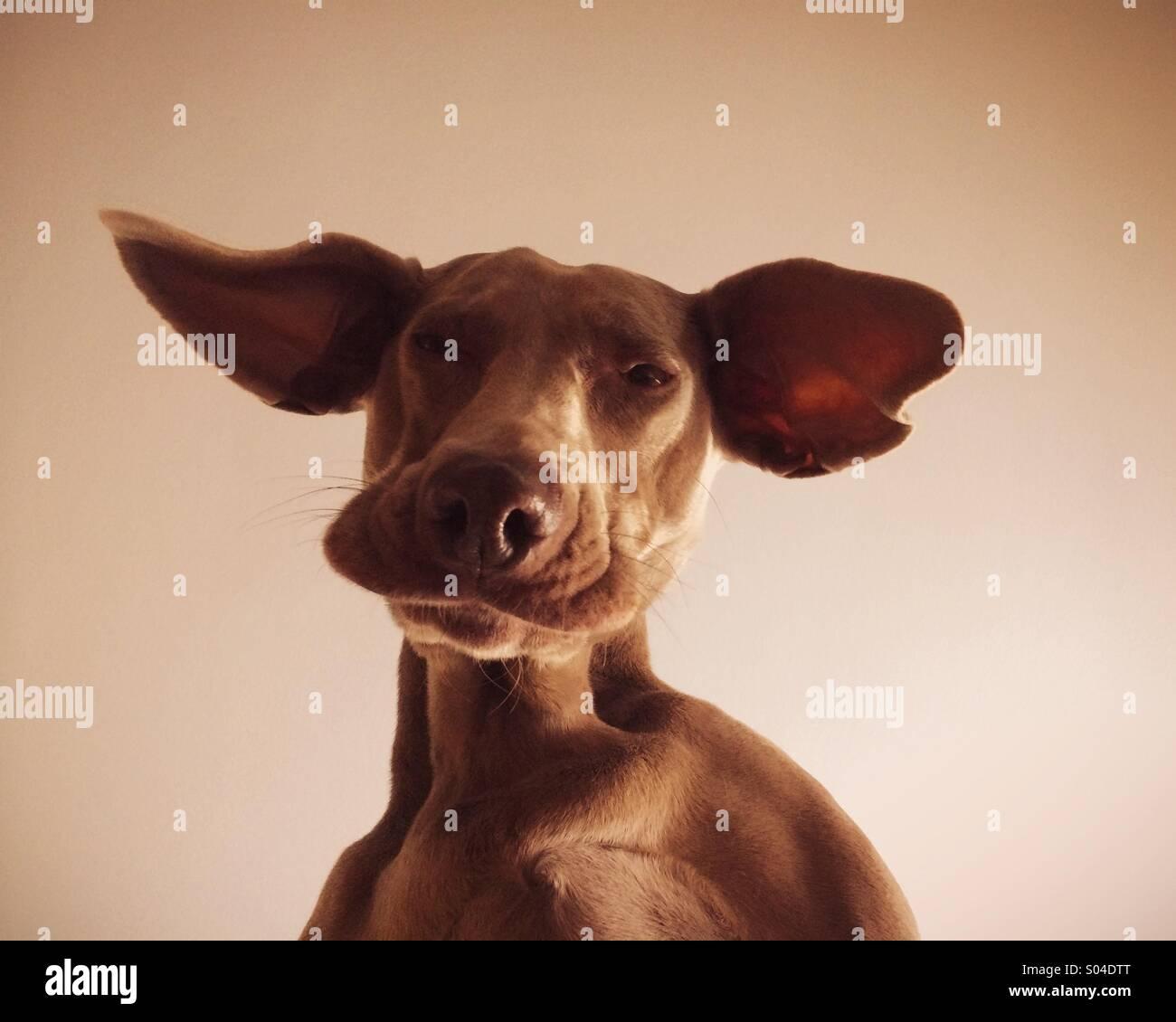 Floppy ears - Stock Image