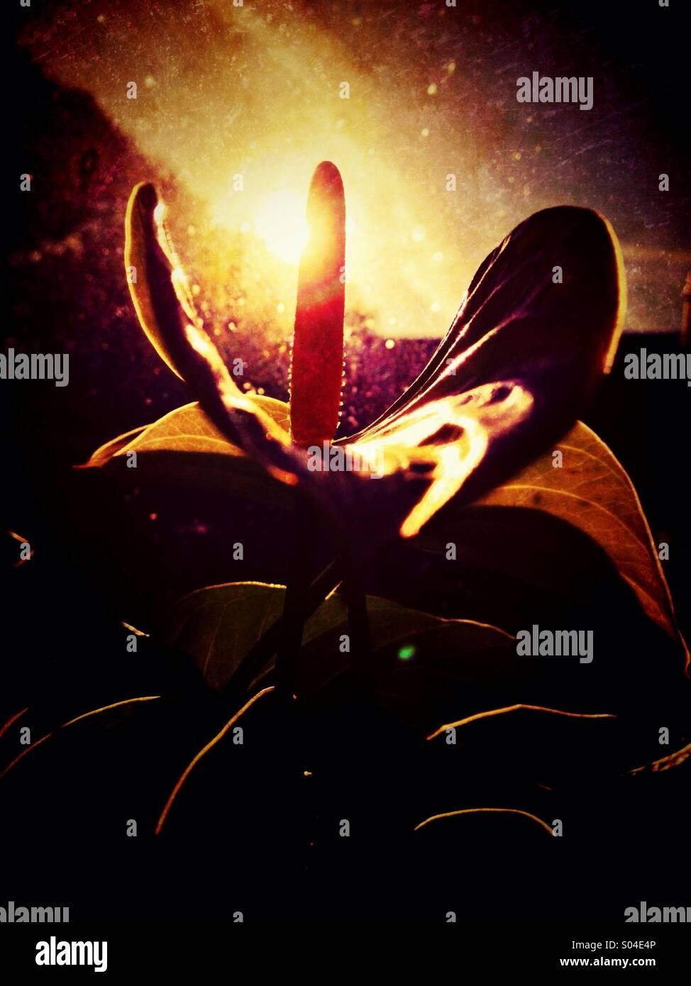 Backlit Anthurium flower - Stock Image