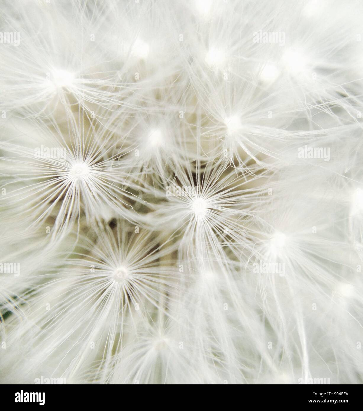 Dandelions. Make a wish and blow flowers. - Stock Image