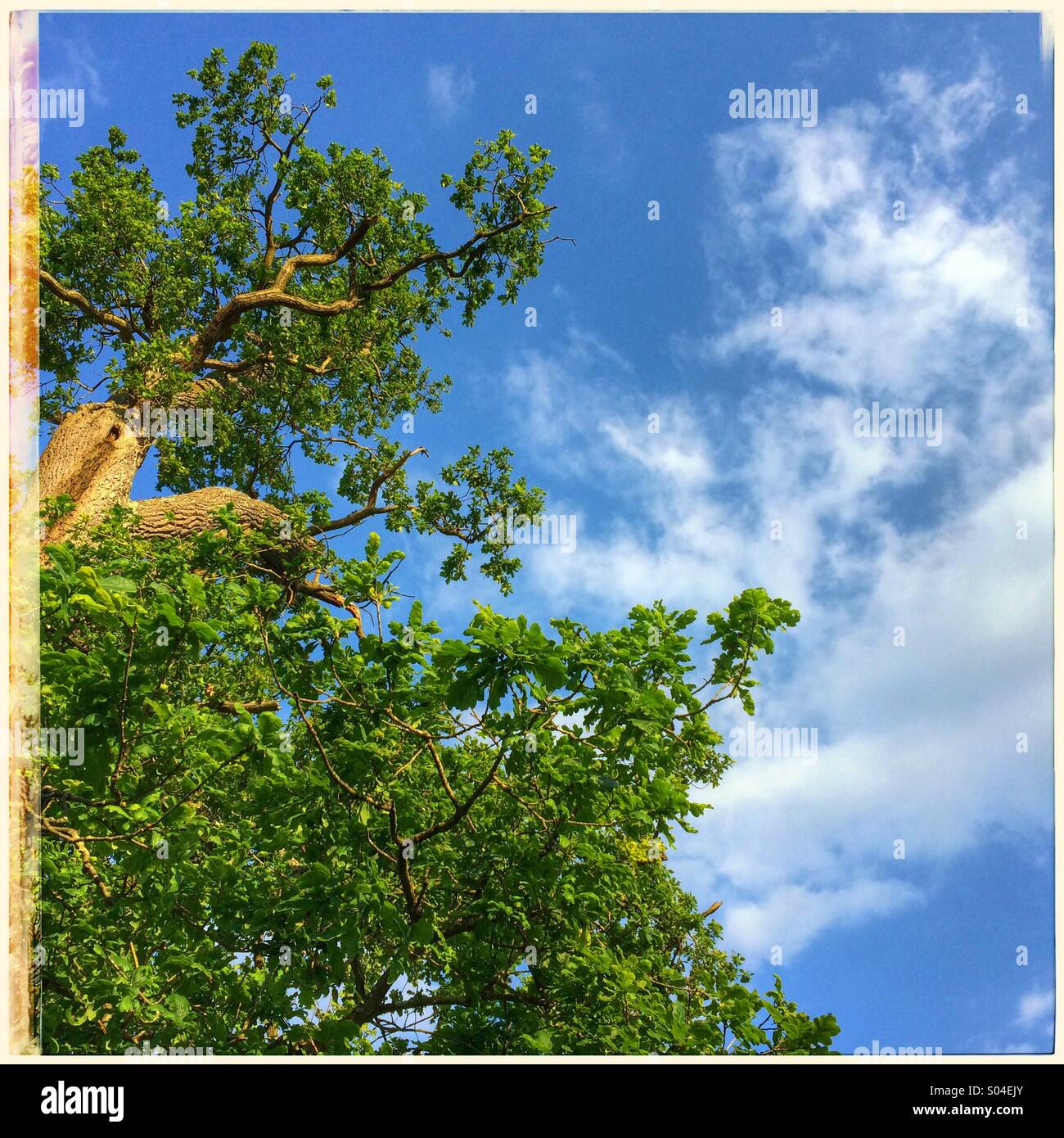 Oak tree against a blue summer sky with white fluffy clouds. - Stock Image