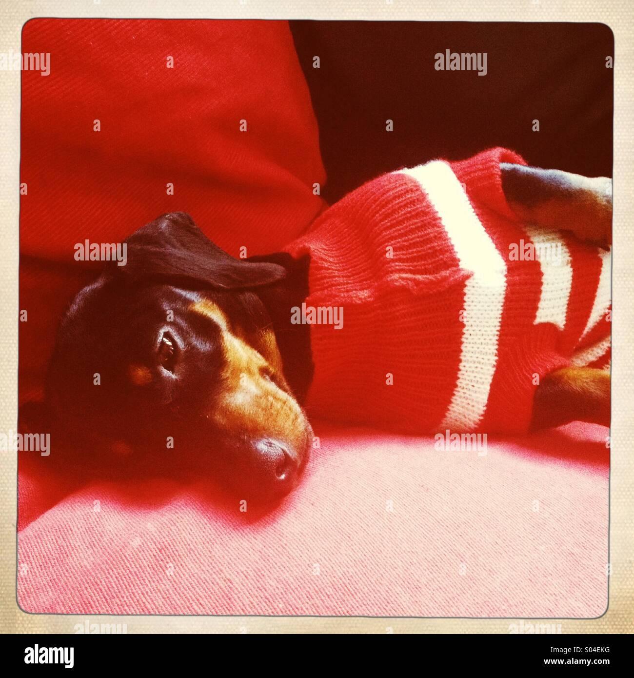 Puppy sleeping - Stock Image
