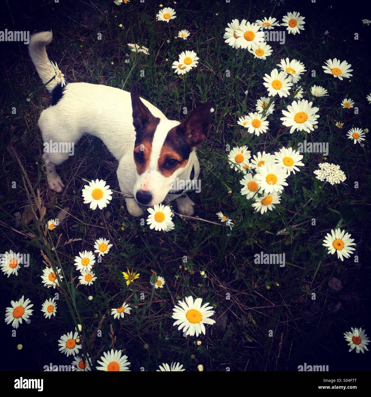 A ten-month-old Jack Russell Terrier puppy dog, named Daisy, photographed from above in a field of daisies. - Stock Image