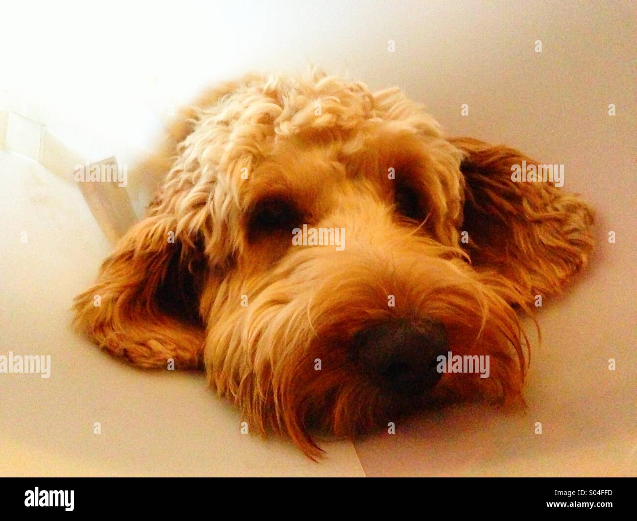 Cockerpoo dog looking sad and wearing a surgical collar. - Stock Image
