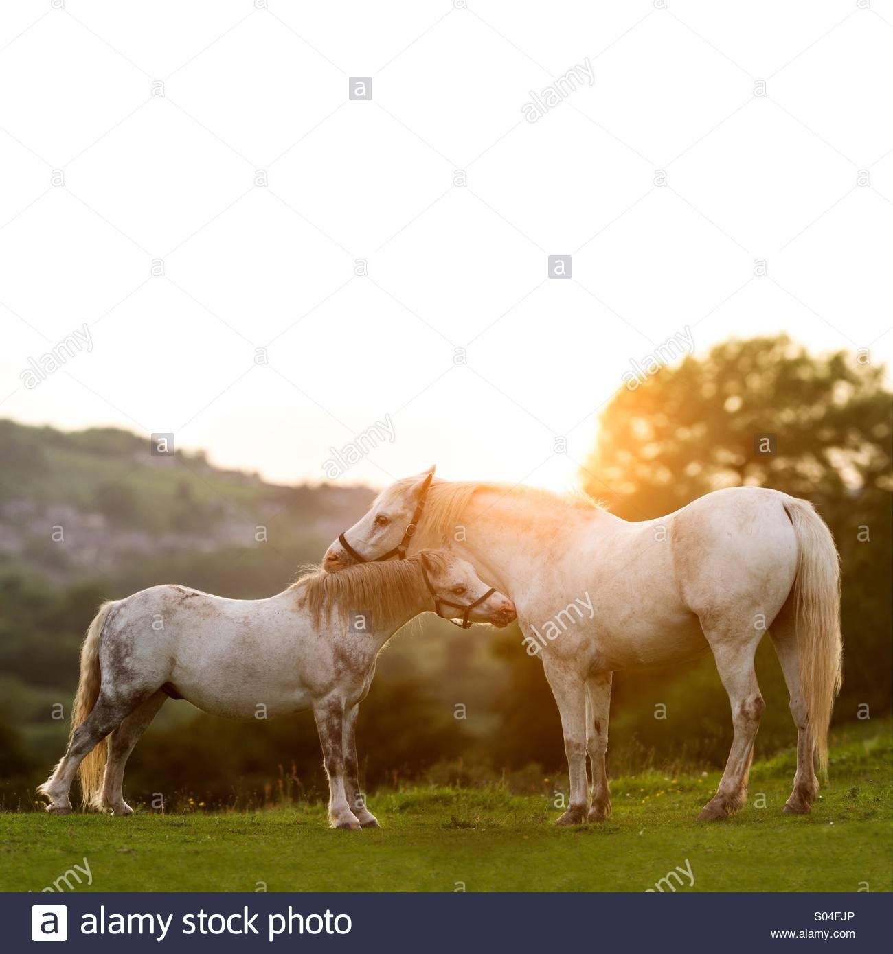 Two Horses enjoying a Beautiful Sunset - Stock Image
