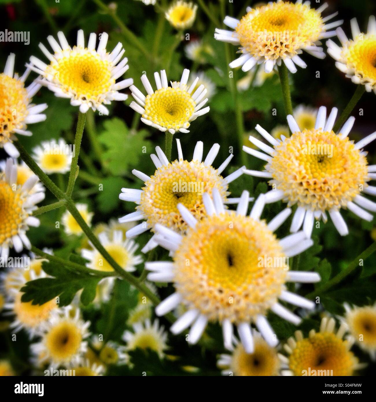 White and yellow flowers - Stock Image