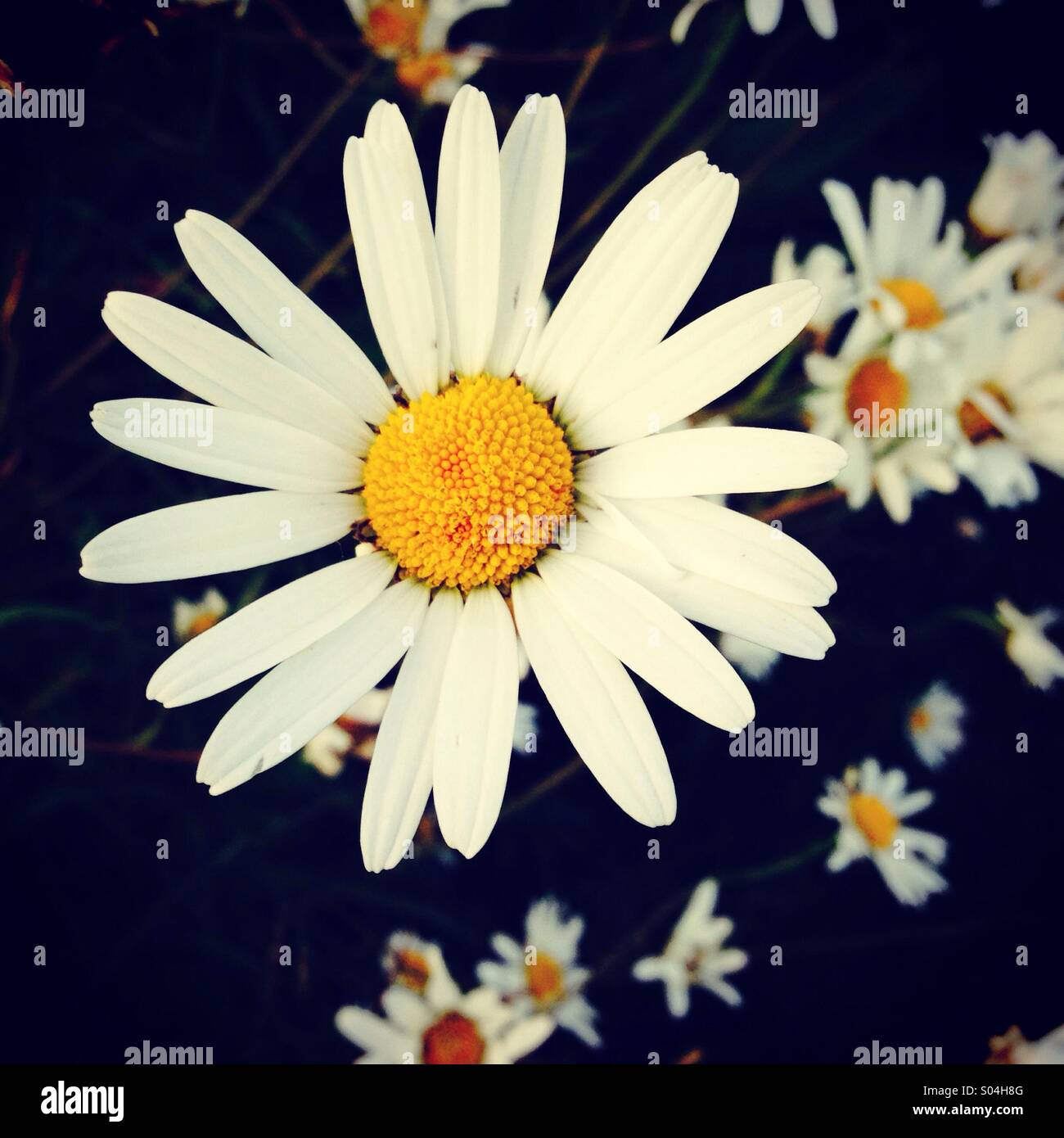Daisy flower - Stock Image
