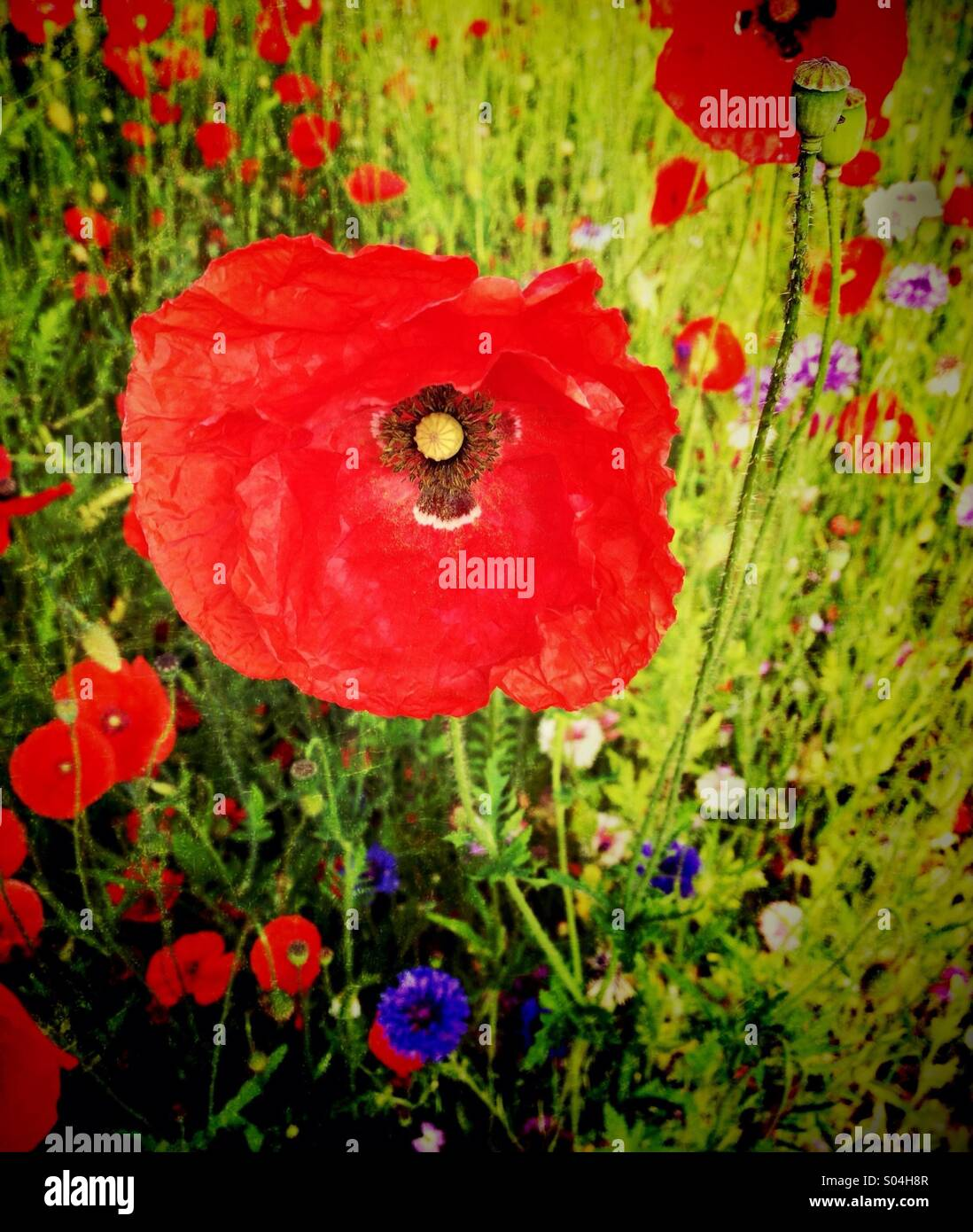 Poppies and wild flowers - Stock Image