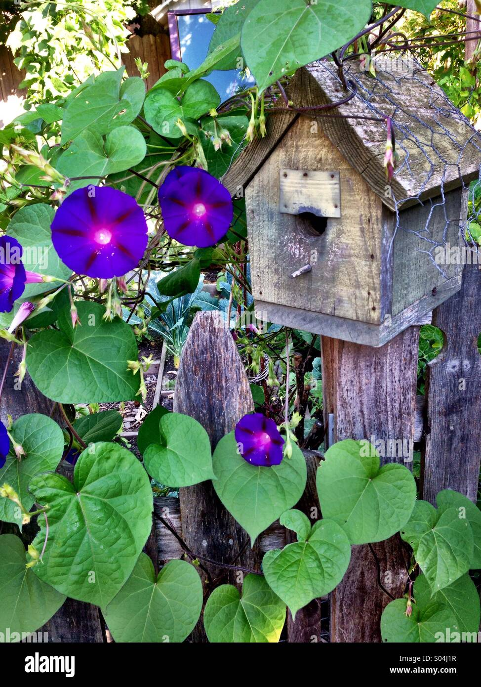 Bird house with morning glories - Stock Image