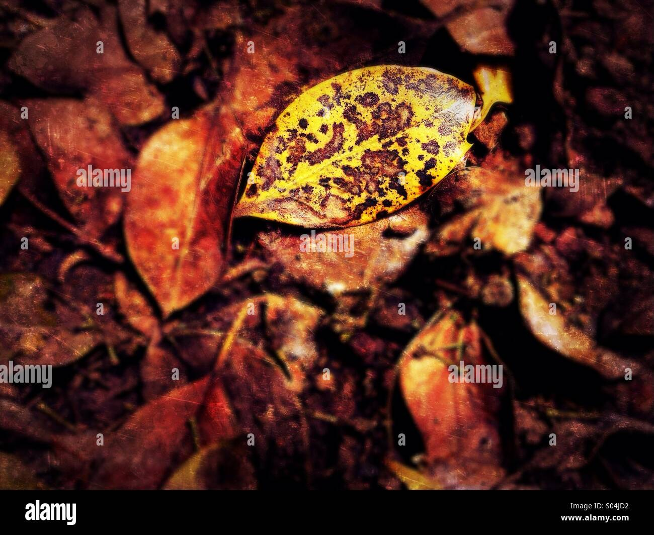Decaying leaf - Stock Image