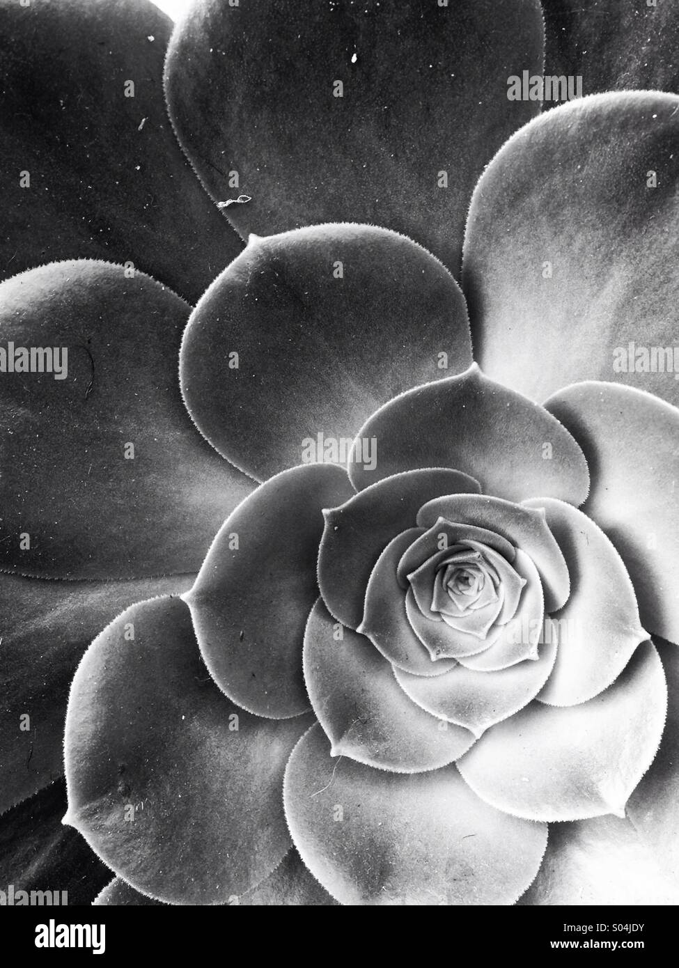Succulent flower in black and white - Stock Image