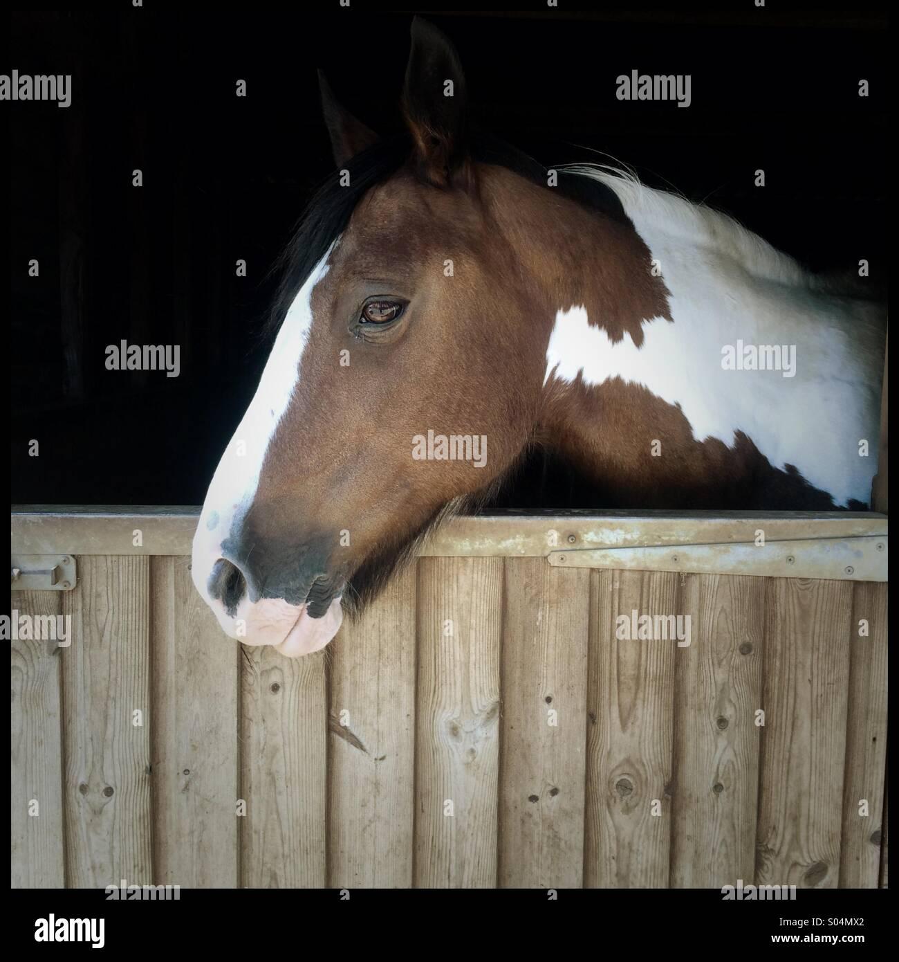 Horse looking over stable door - Stock Image