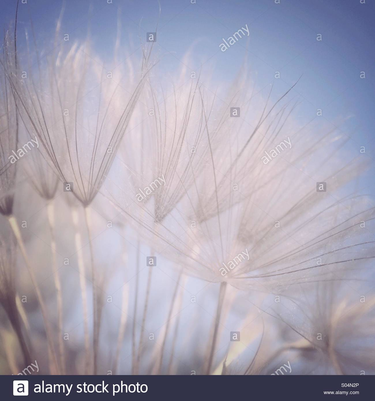 Salsify Seeds - Stock Image