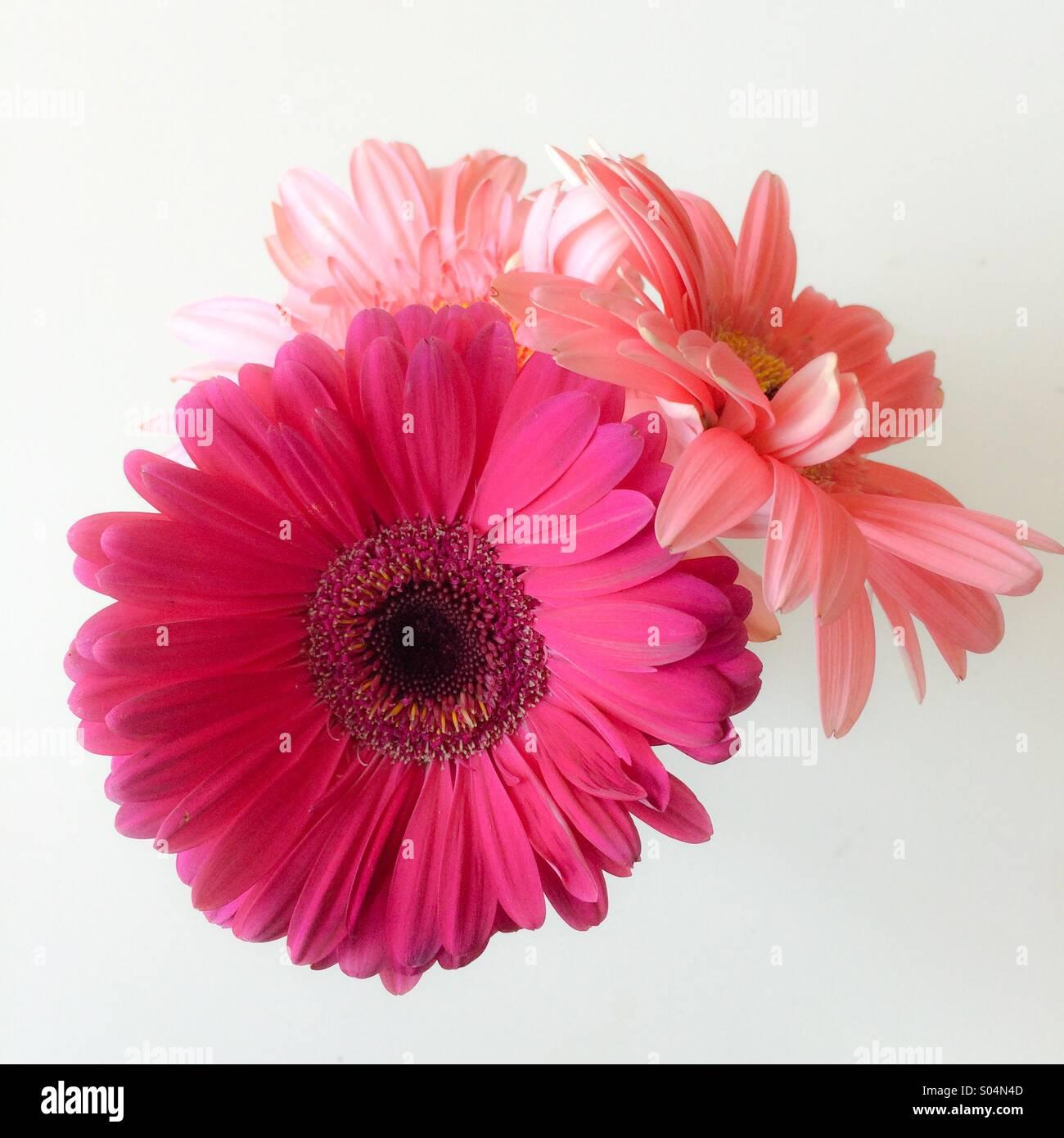 Three gerber daisies - Stock Image