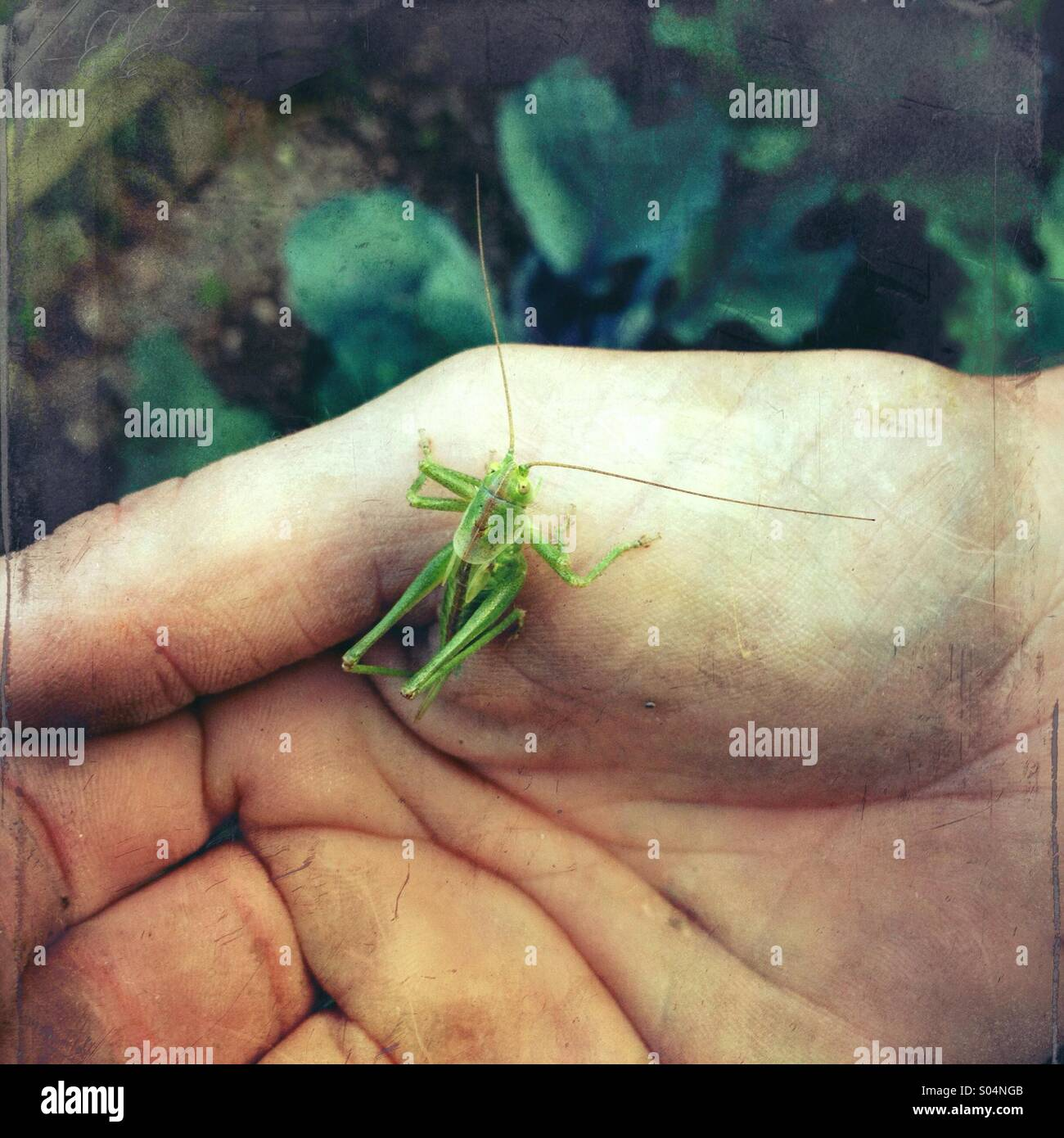 Man's hand holding a green grasshopper in garden - Stock Image