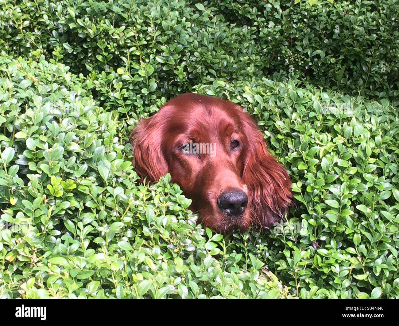9 month old Irish Setter peeks his head through box hedge. - Stock Image