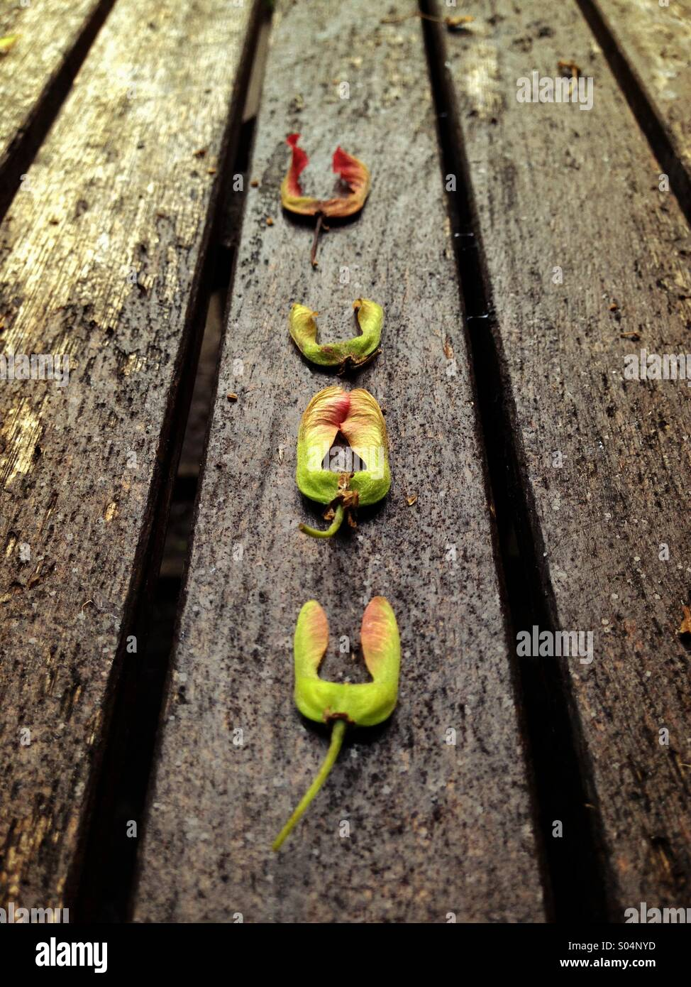 Four sycamore seeds line up on a picnic table. - Stock Image