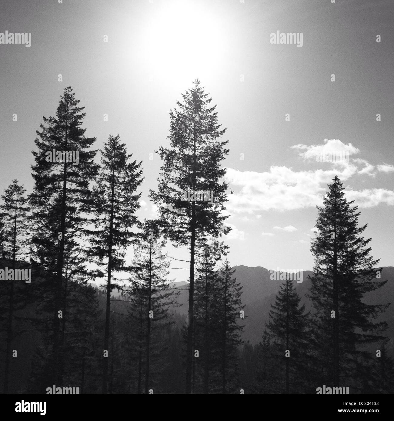 Black And White Pine Trees Stock Photo 309893335 Alamy