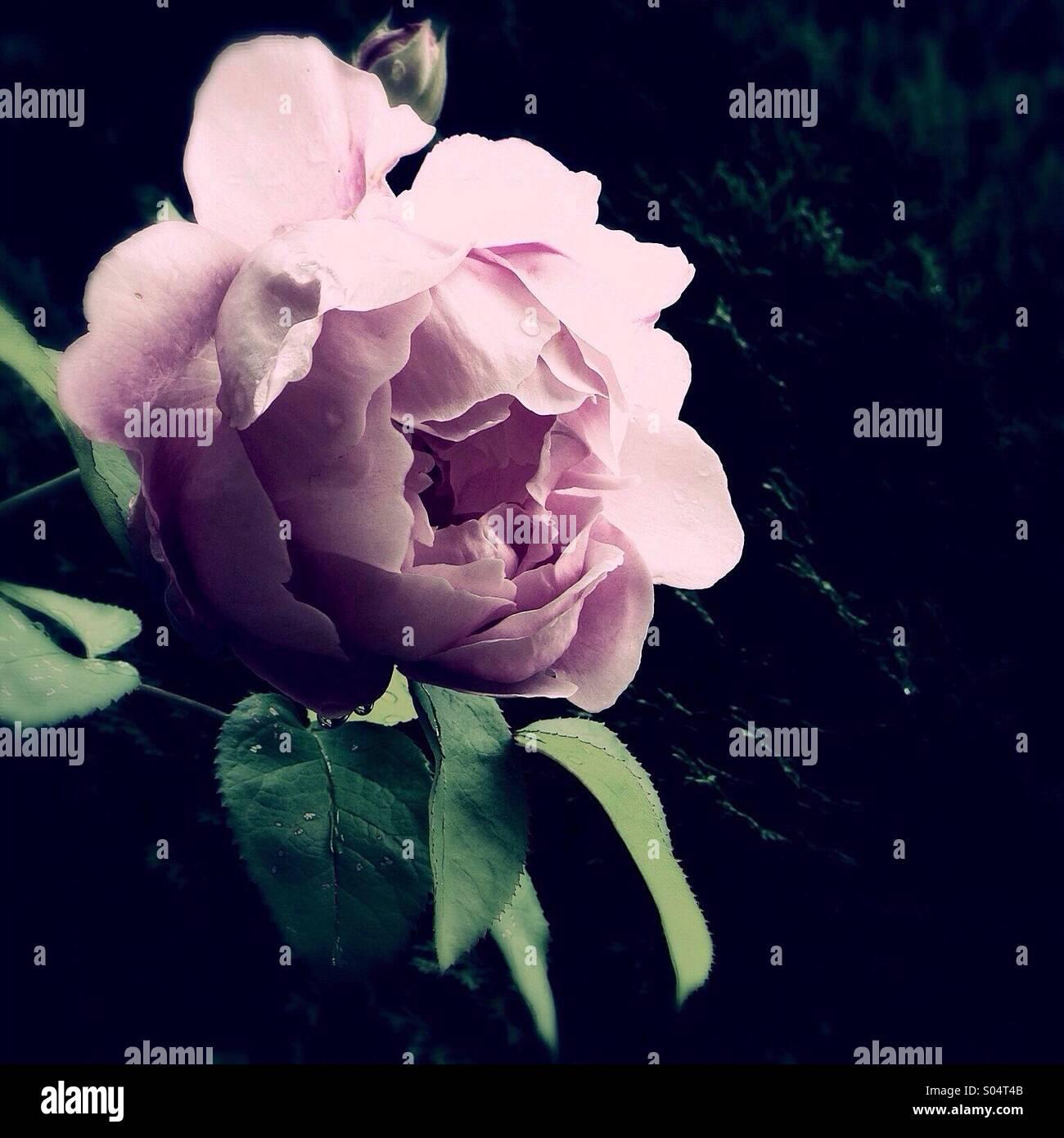 Midnight Rose - Stock Image