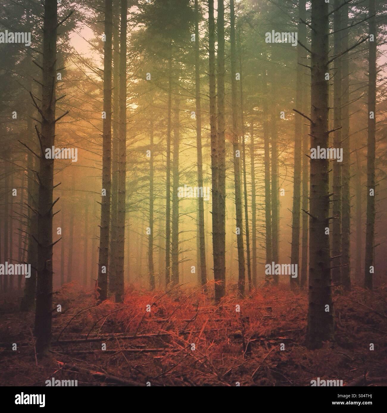 Dark foggy forest - Stock Image
