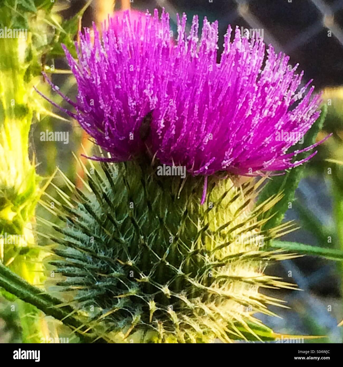 Scottish Thistle National Emblem Scotland Stock Photos Scottish