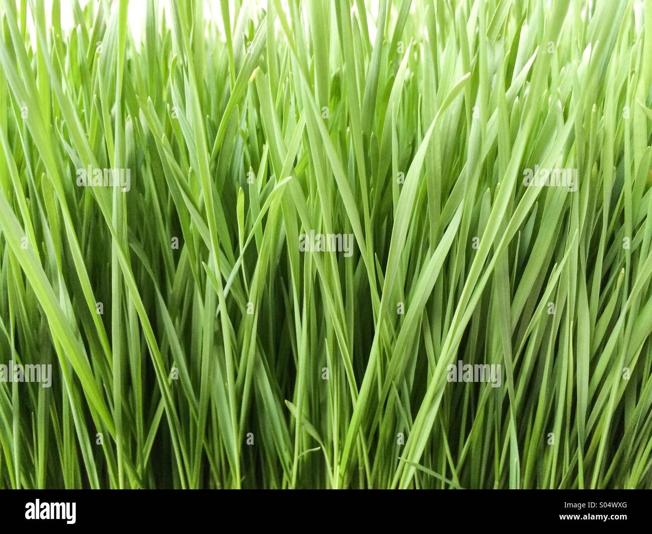 Green wheatgrass crops field - Stock Image