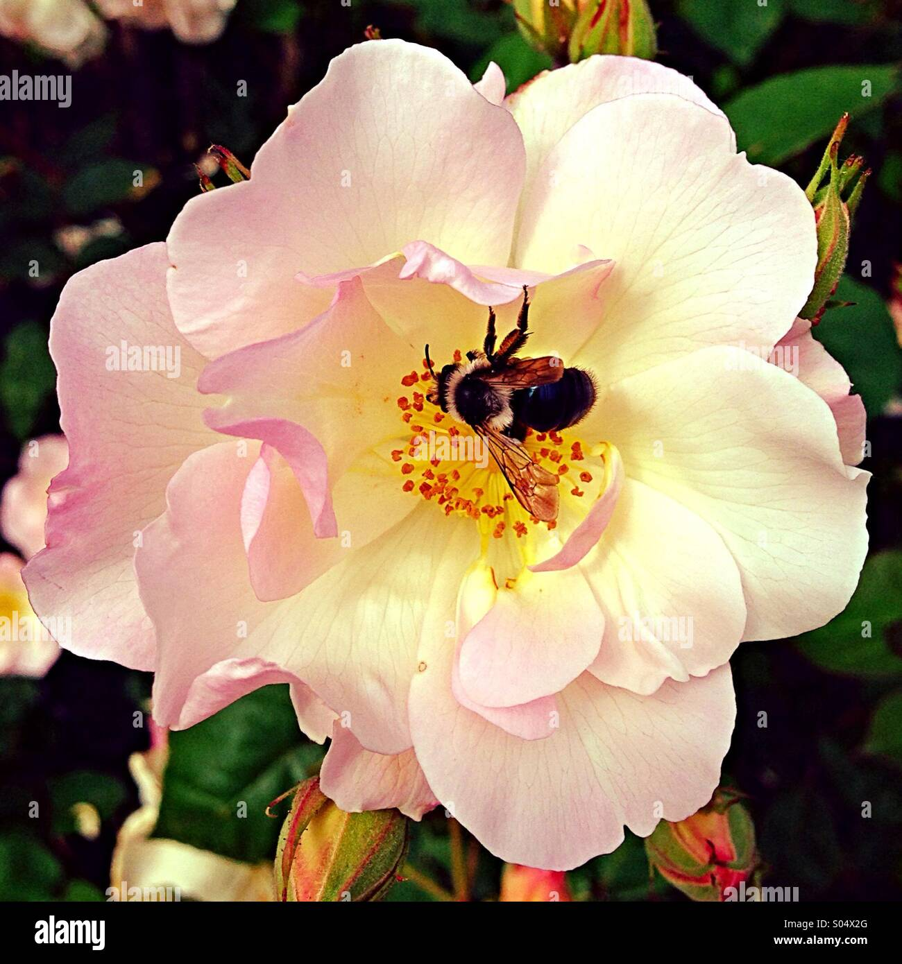 Rose being pollinated - Stock Image