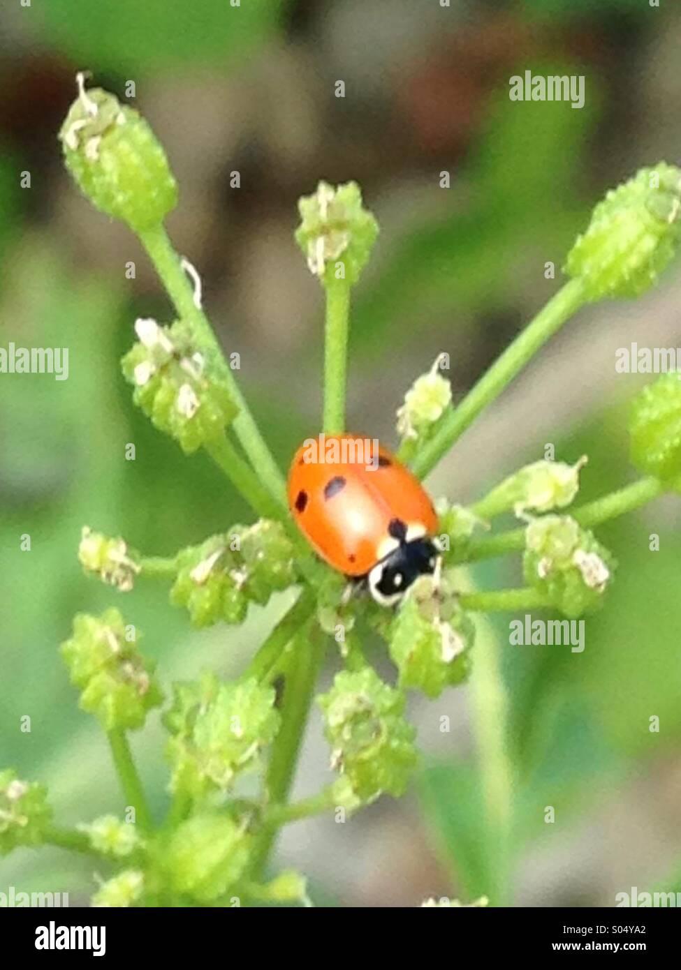 Fanciful ladybug. - Stock Image