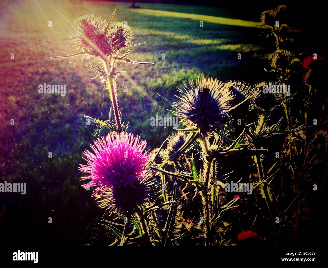 Backlit thistles at sunset - Stock Image