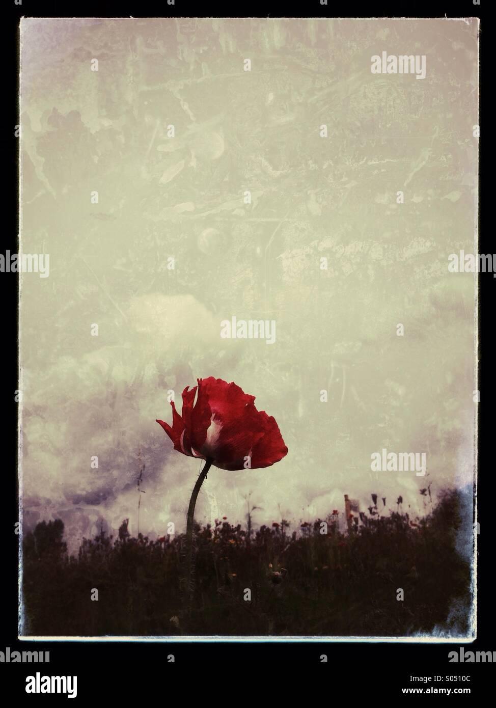 Red poppy - Stock Image