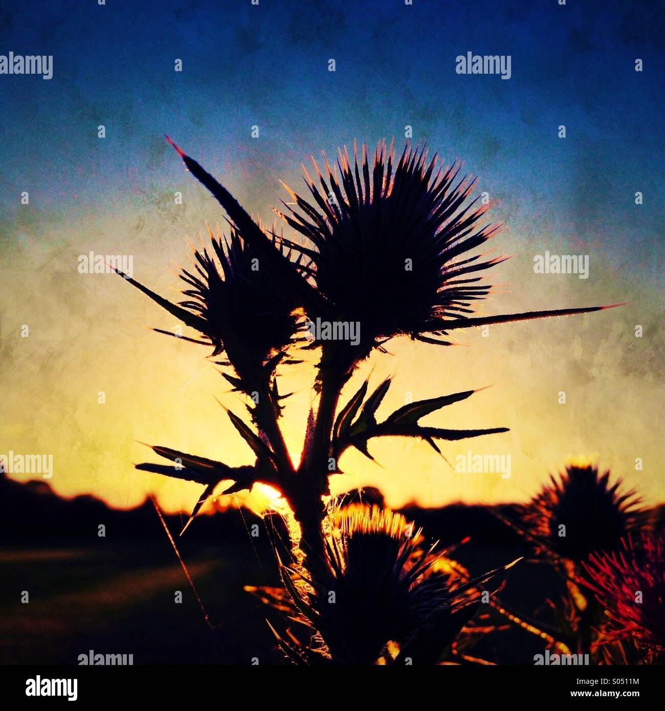 Thistle in silhouette at sunset - Stock Image