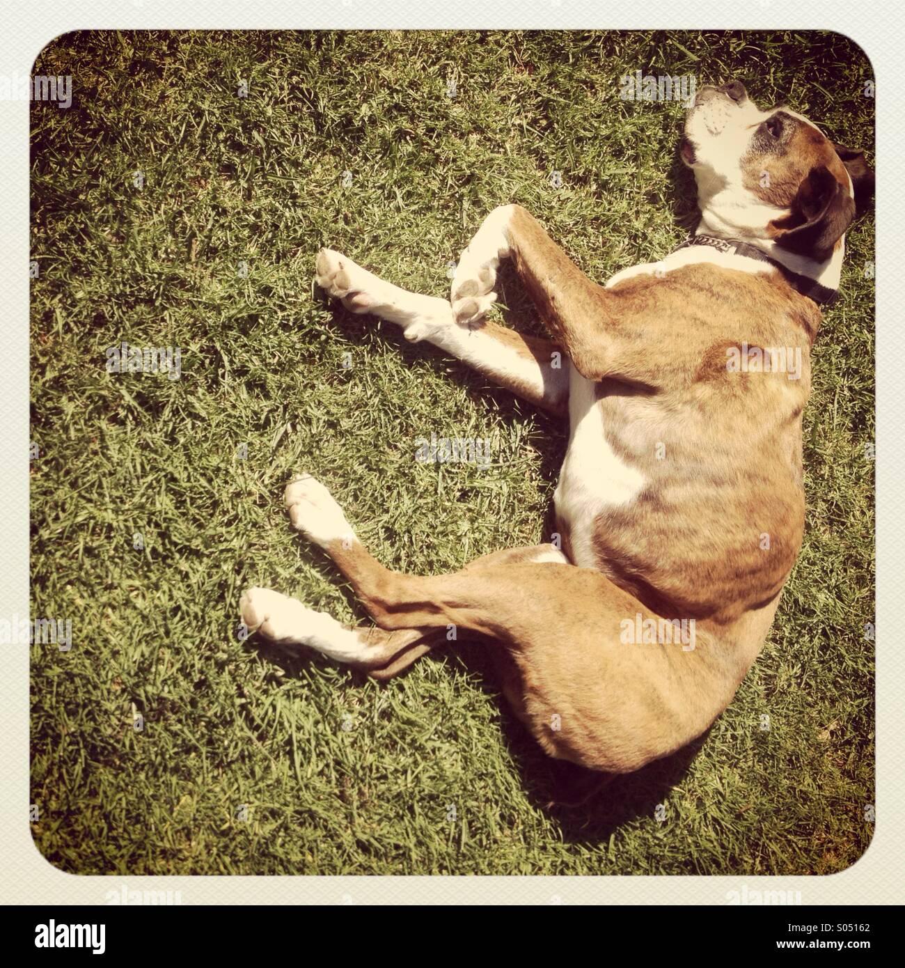 Boxer Dog - Stock Image