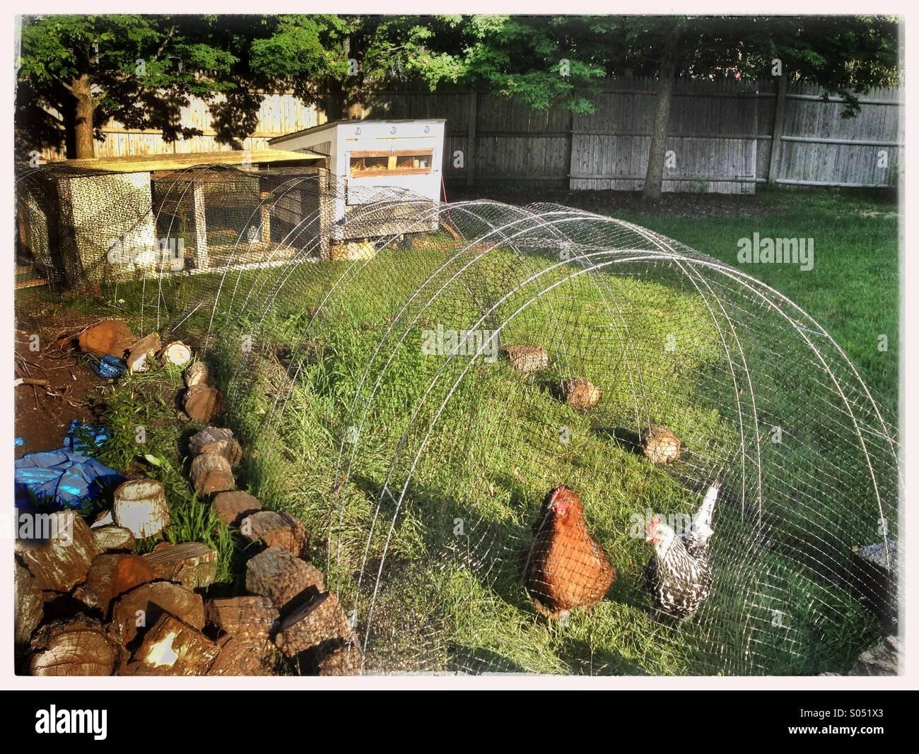 Raising Chickens Stock Photos & Raising Chickens Stock
