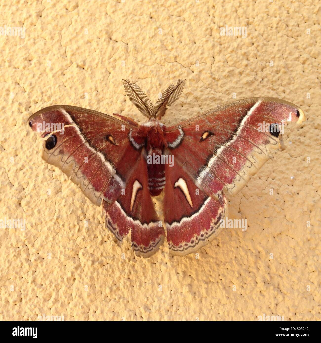 Moth on yellow wall 2 - Stock Image