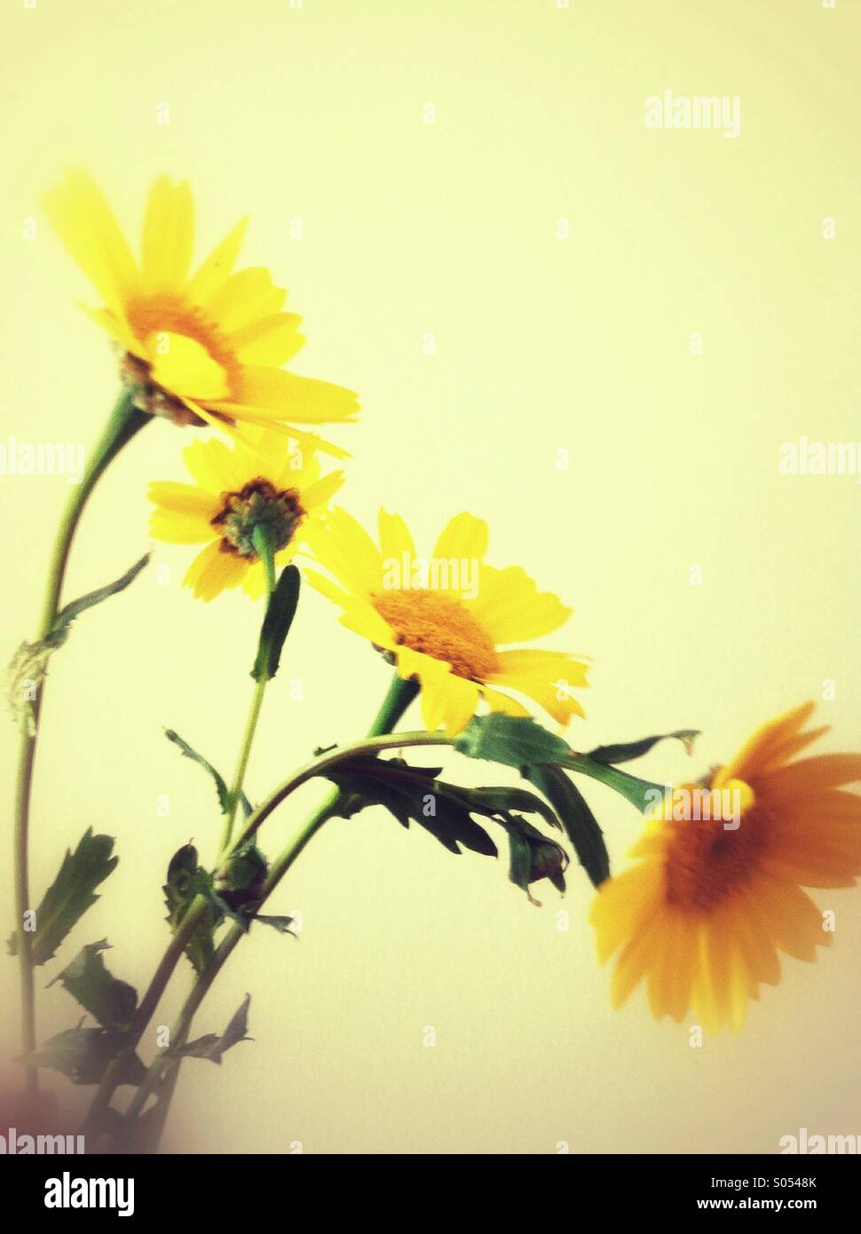 Wild summer daisy flowers - Stock Image