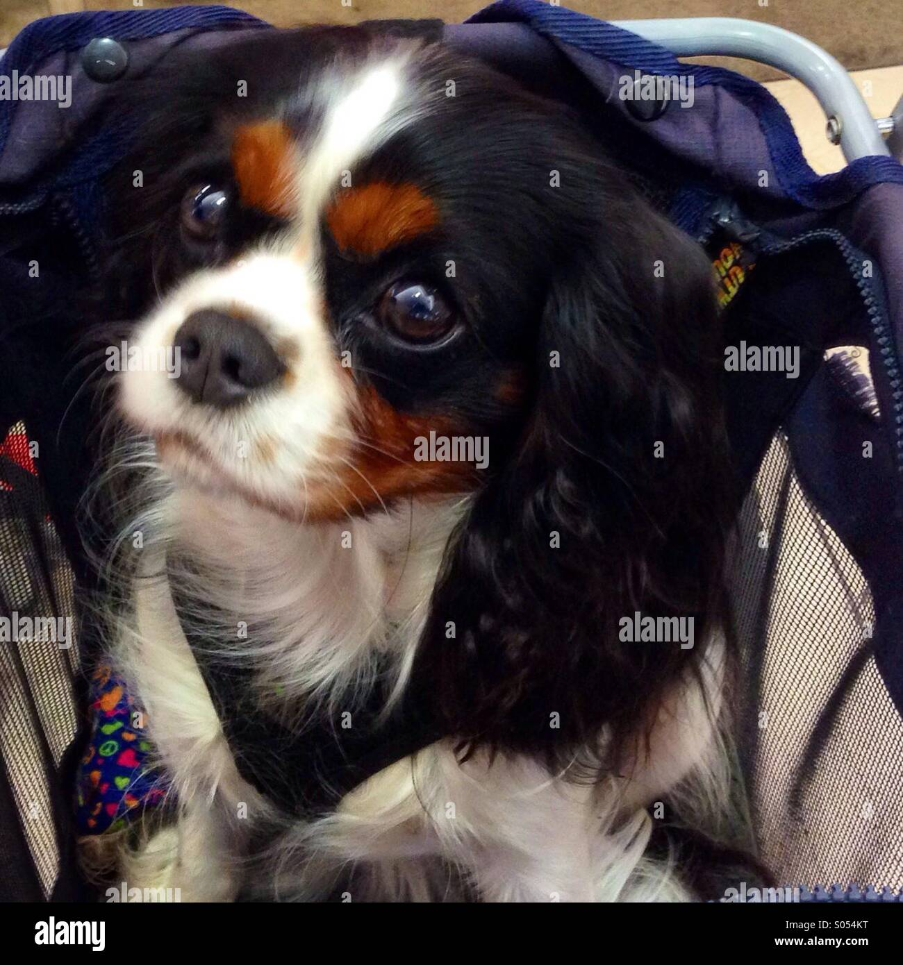 The CUTEST puppy! In a buggy with mom shopping at Macy's! - Stock Image