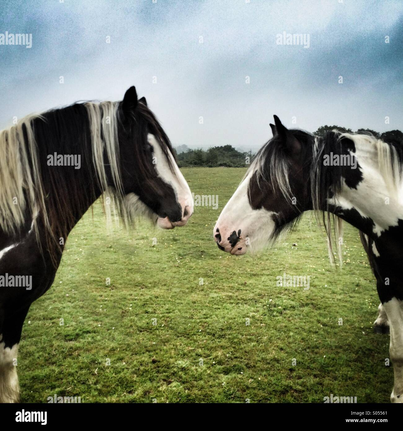 Side view of 2 horses - Stock Image