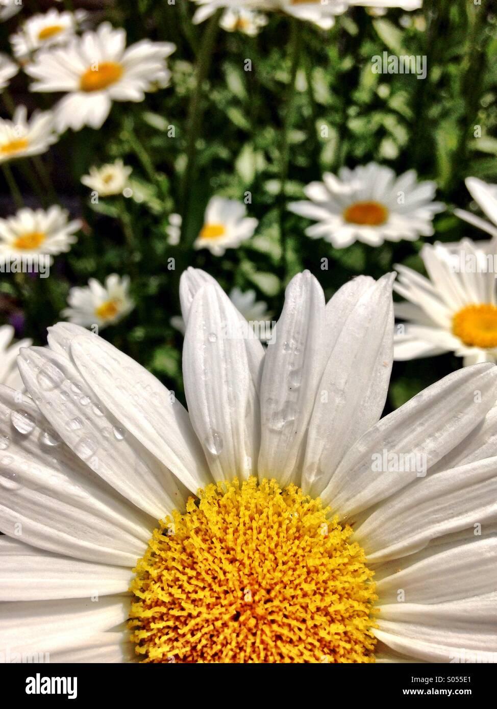 Daisy close up - Stock Image