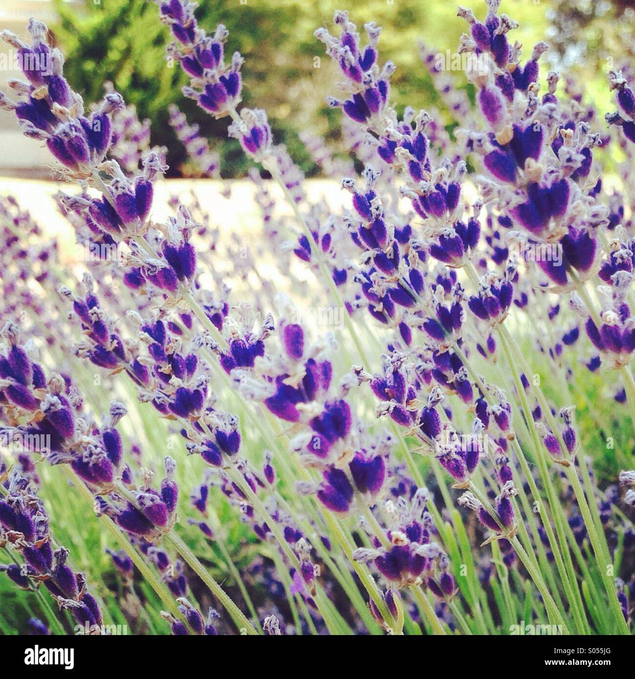 Lavender Blowing in the Breeze! - Stock Image
