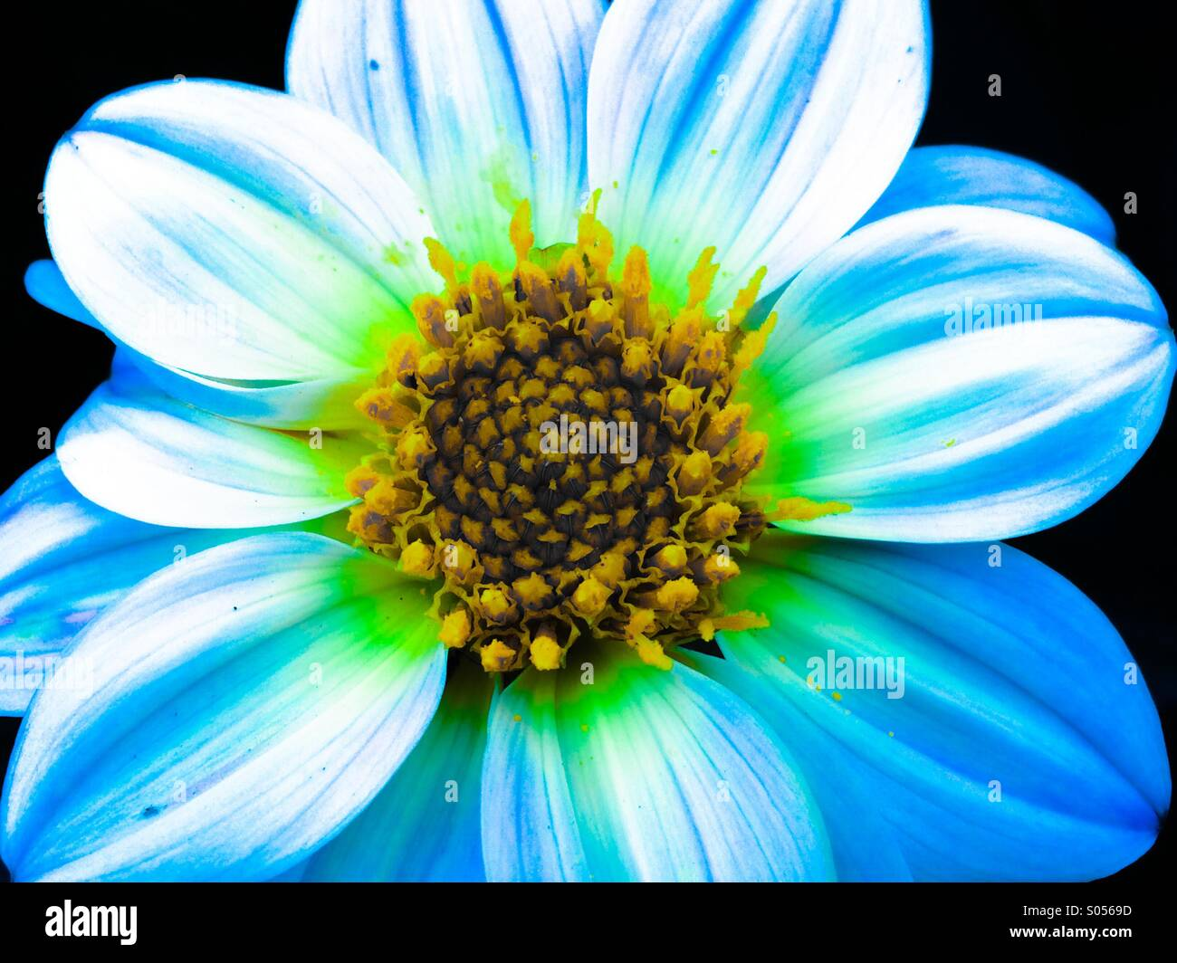 Blue and green flower with yellow centre Stock Photo