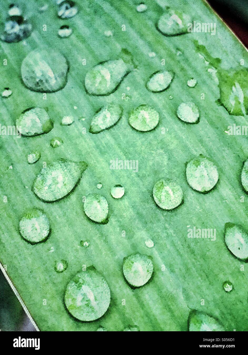 Drops of rain on the leaf of a yucca plant - Stock Image