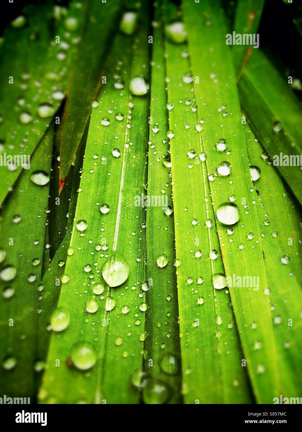 Water droplets on leaves - Stock Image