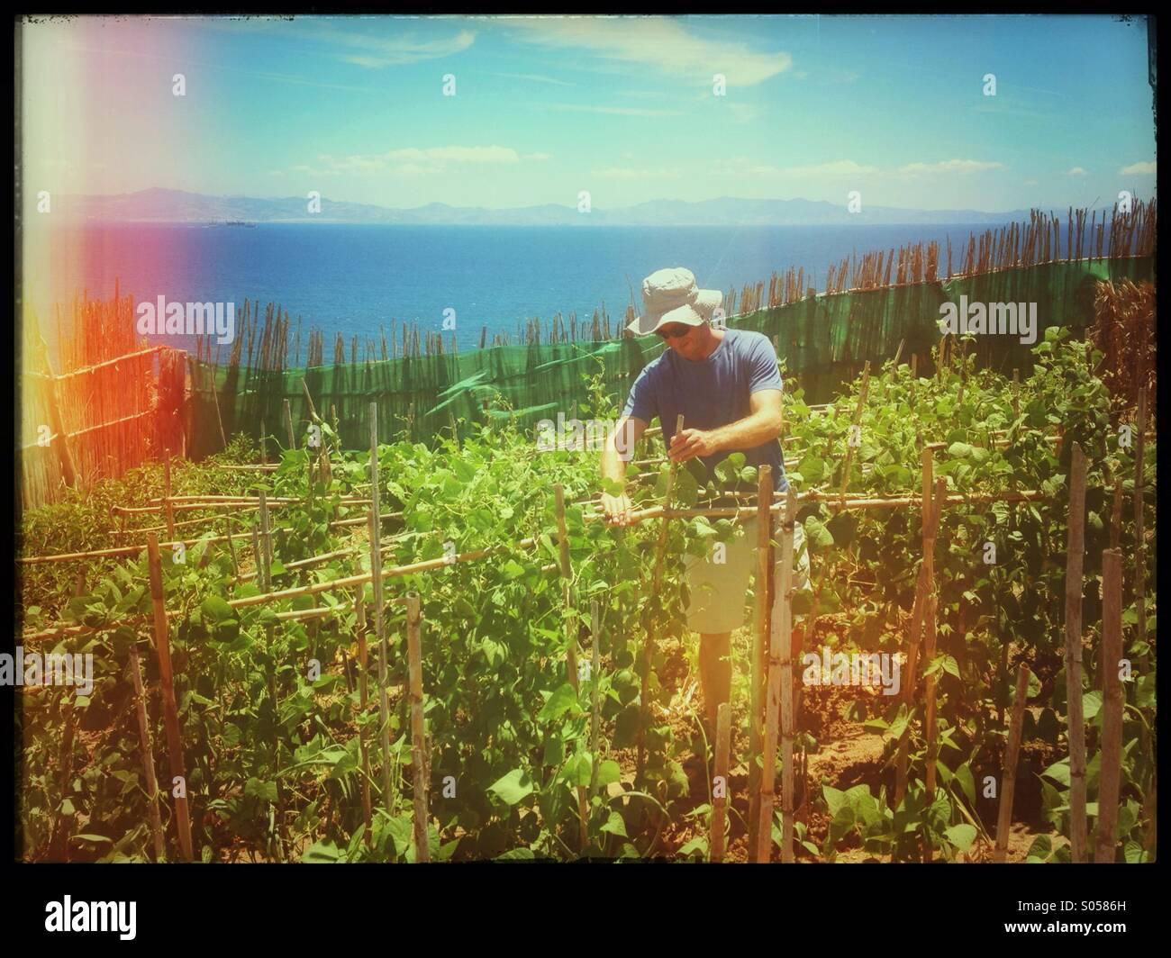 Man in Tarifa, Spain tending runner bean plants in his garden.  The Moroccan coastline visible in background. - Stock Image