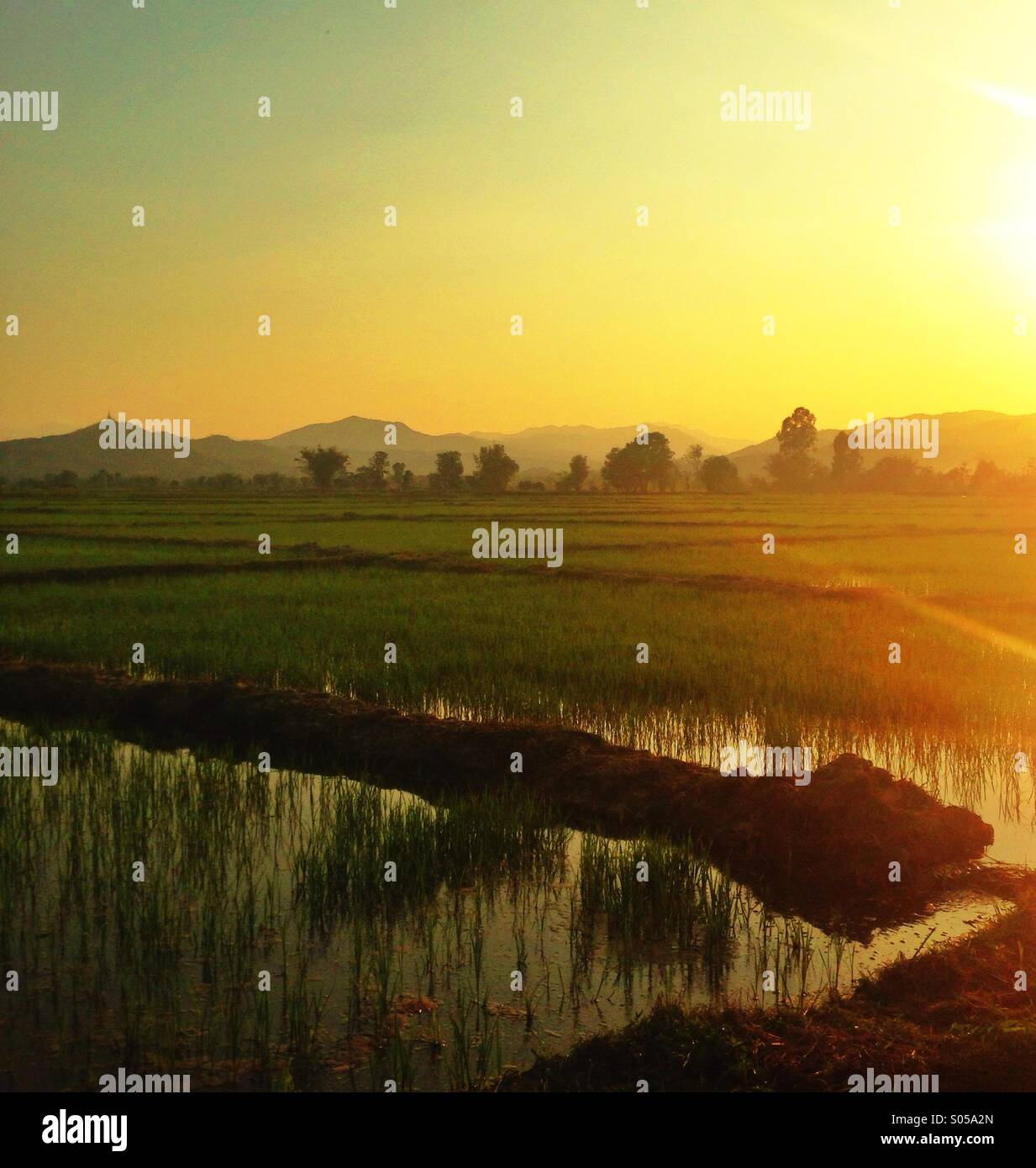 Rice field sunsets - Stock Image