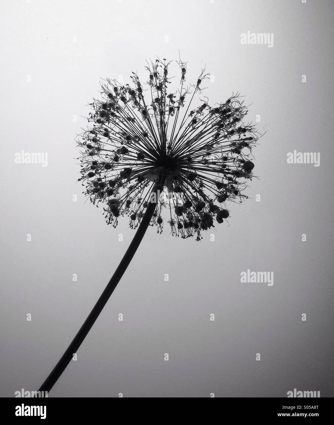Silhouette of dried flower - Stock Image