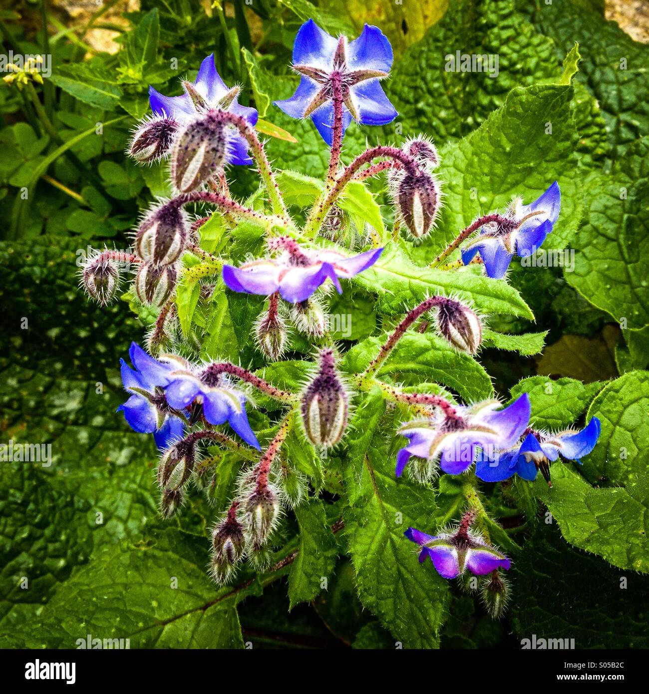 Flowering Borage used as a salad herb - Stock Image