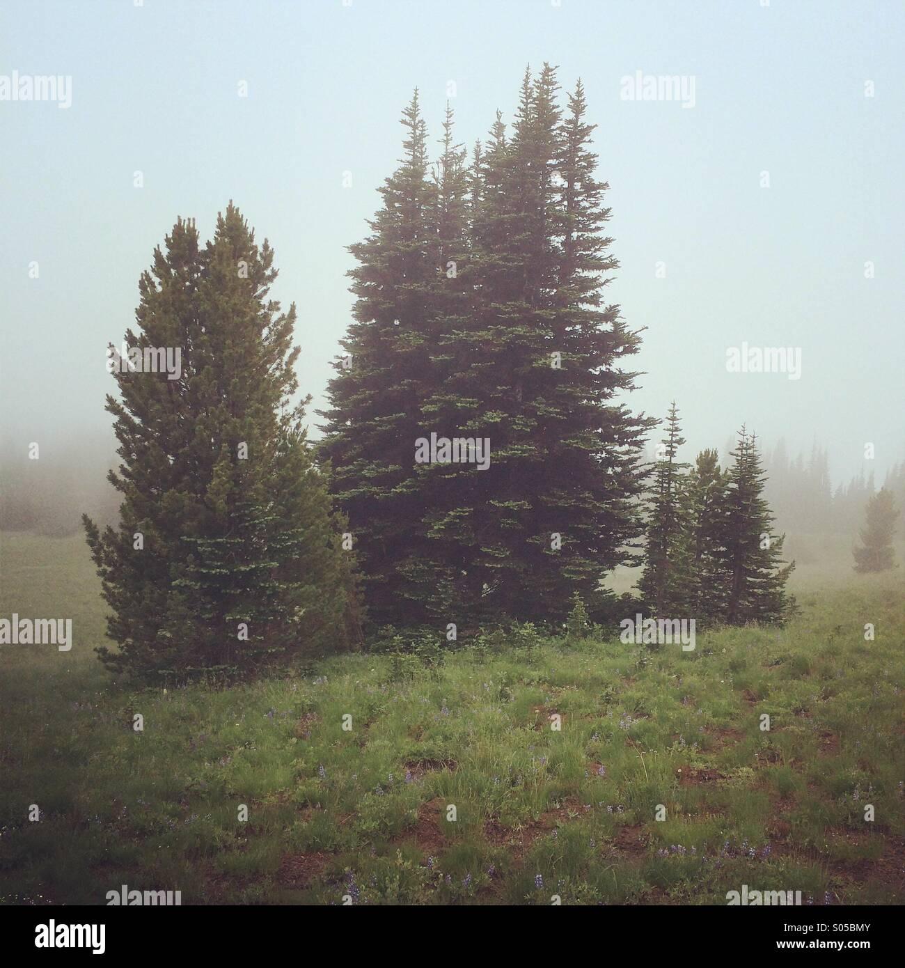Alpine fir trees in fog, Mt. Rainier National Park, Washington - Stock Image