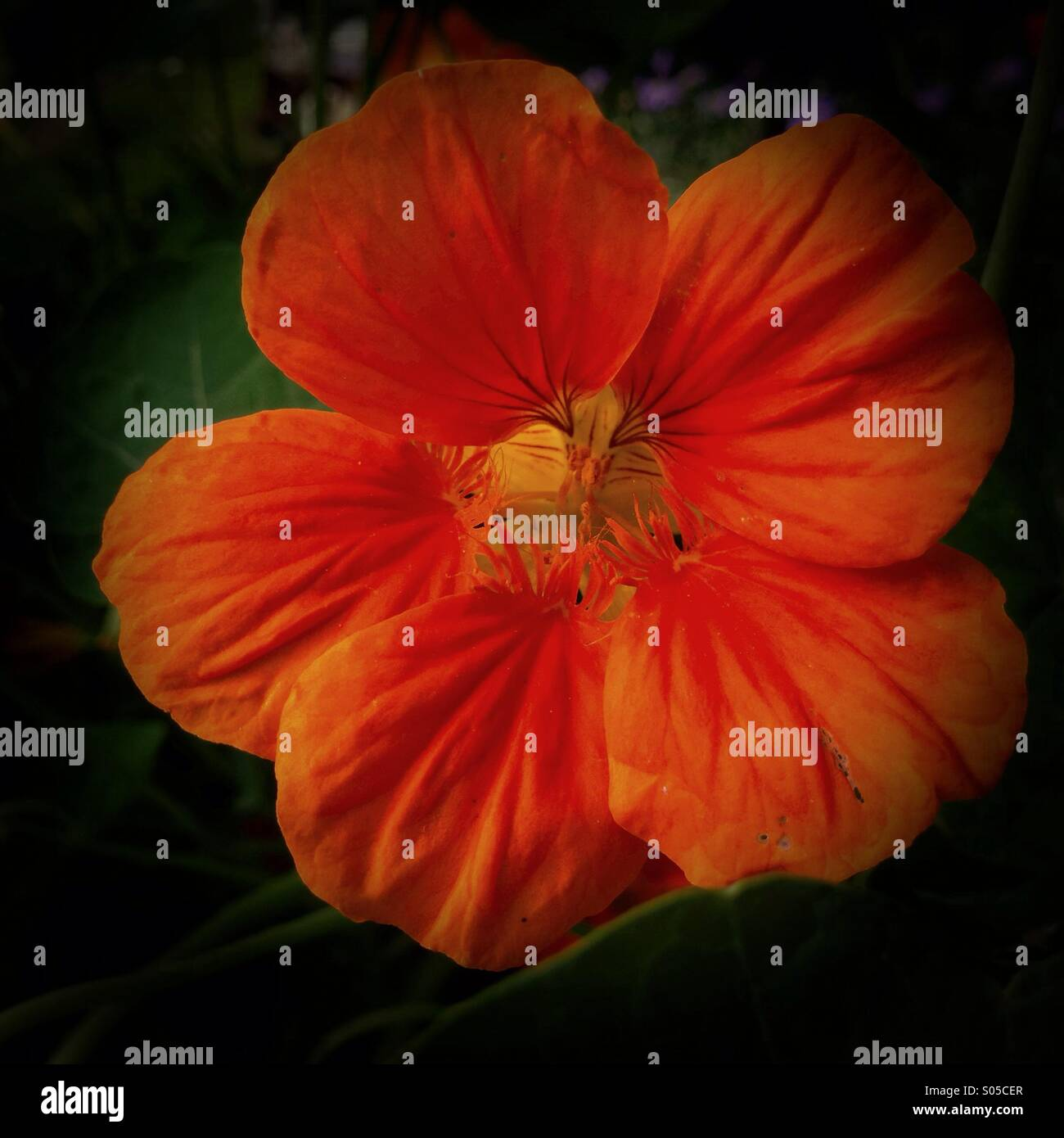 Nasturtium - simple and fleeting, take each flower as you find it. - Stock Image